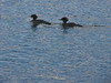 Merganser ducks at the river mouth