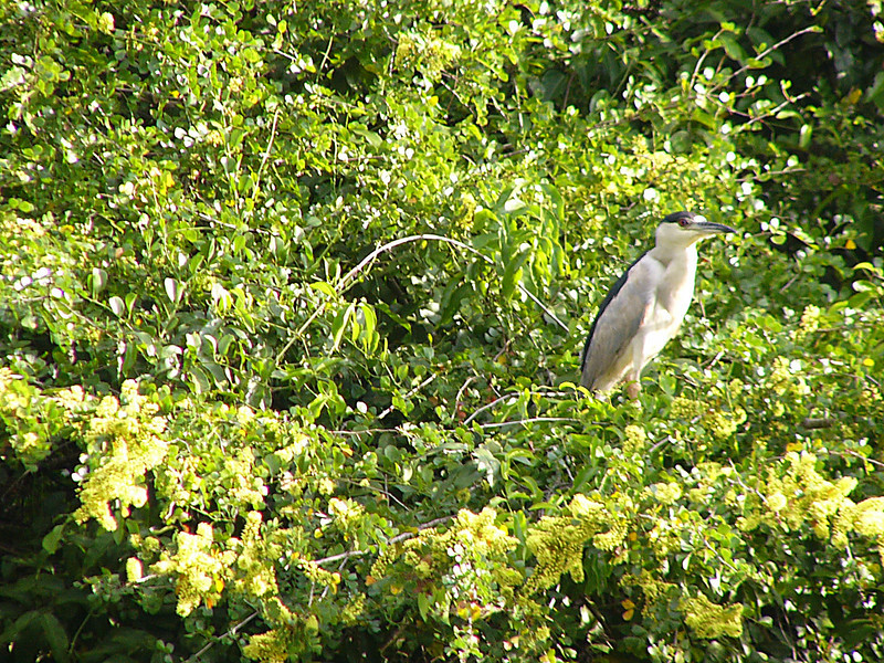 Another heron.  It is a Black Capped Night Heron I believe.