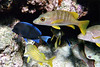 Blue Tang, Grunts and one other kind of fish