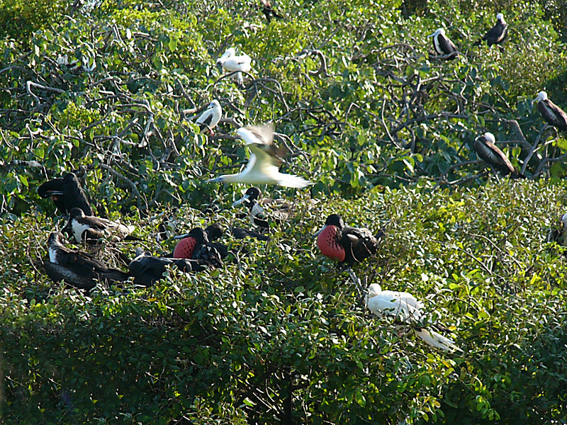View of the rookery from the platform.  Note the male frigatebirds and the boobie in flight.
