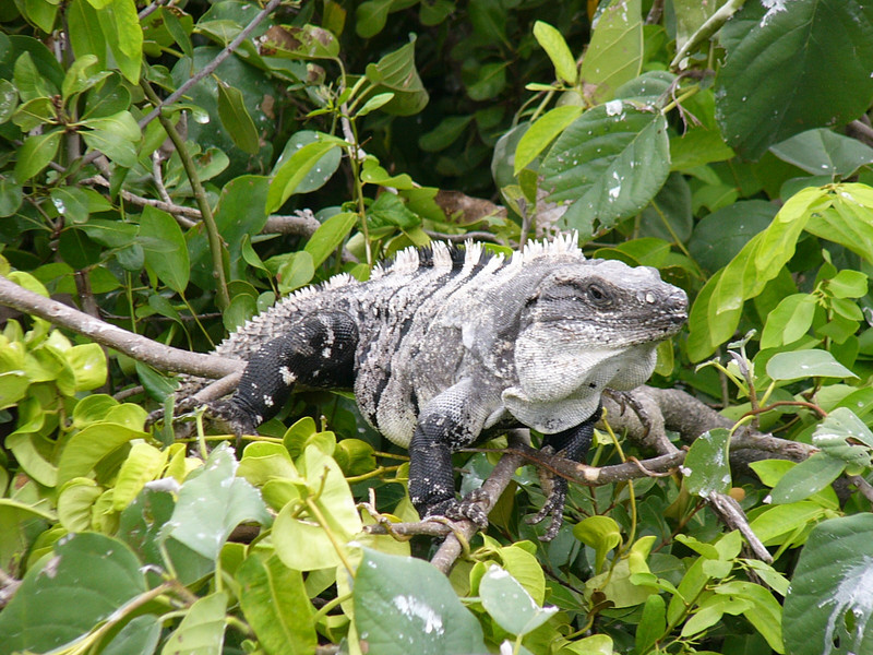Plenty of large iguanas can also be seen