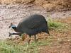 Kenya035_guinee fowl