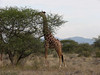 Kenya046_Reticulated Giraffe
