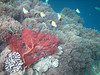 Beautiful red fan, other soft and hard corals, and many pyramid butterflyfishes.