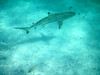 ..the main attraction at this beach site was swimming with blacktip sharks.  Yes, we swam with them, no problem !