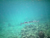No, this is not a barracuda.  It is a large needlefish.