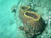 Large Barrel Sponge.  Normally found in deeper waters.