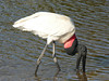This Jabiru came within 10 feet of where I was standing on the riverbank.