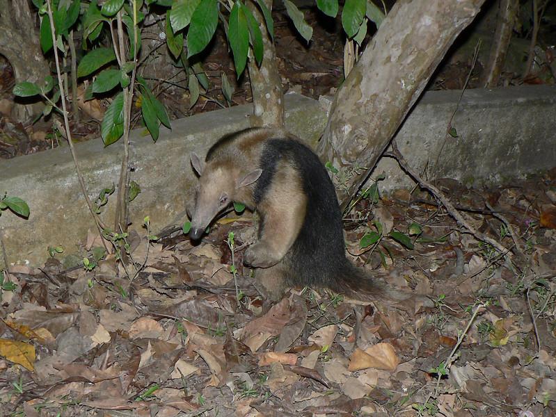 Lesser anteater at night.