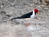 A species of Cardinal