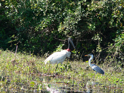 Looks like this heron is facing down the much bigger Jabiru stork