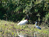Looks like this heron is facing down the much bigger Jabiru stork