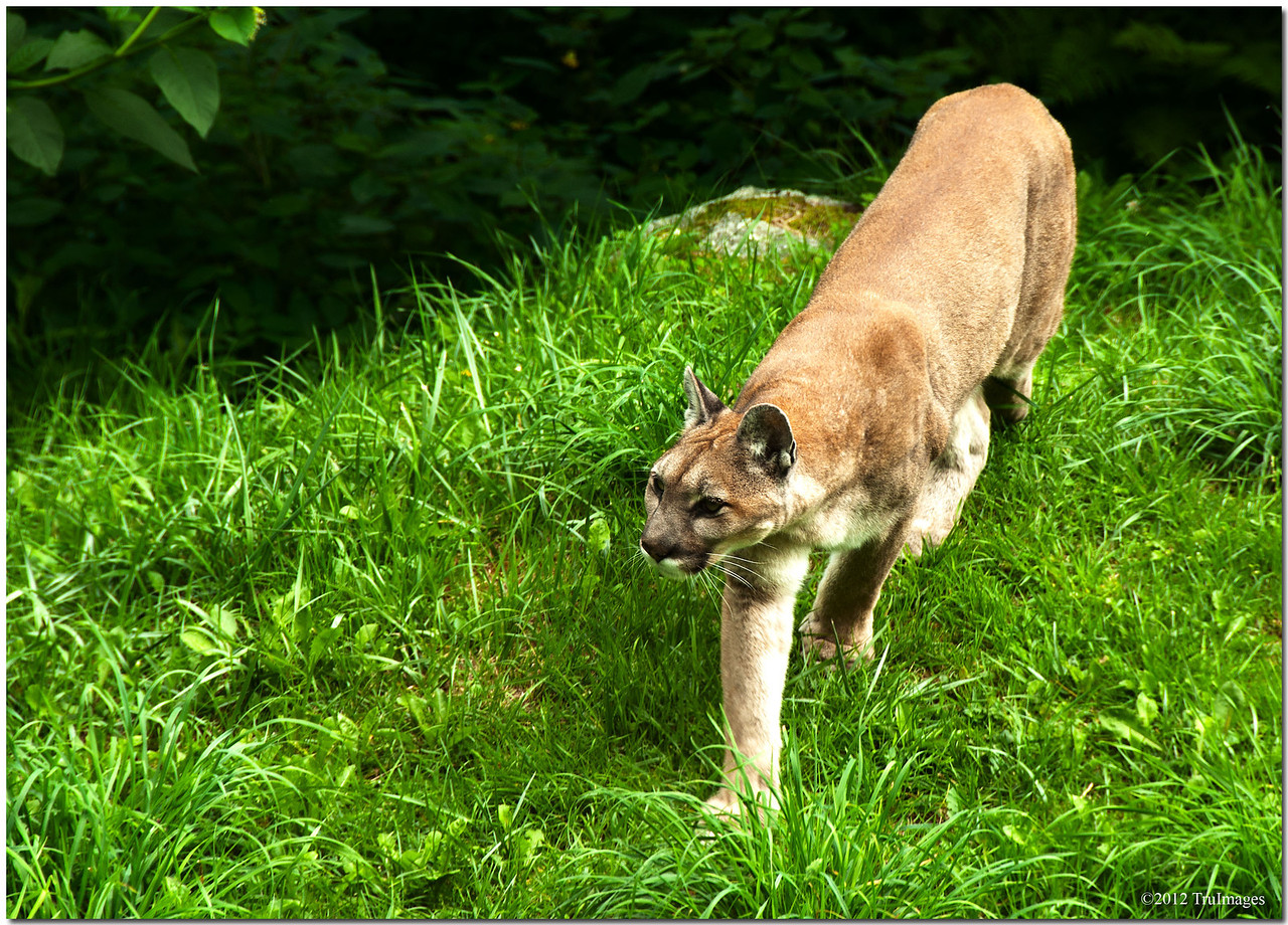 a cougar at grandfather mountain
