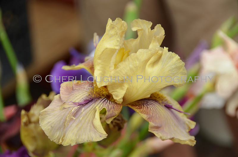 Omaha Farmer's Market - Yellow Iris