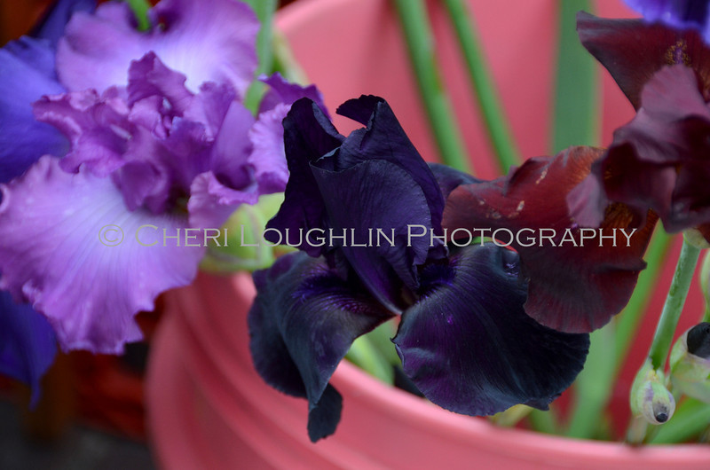 Omaha Farmer's Market - Purple Iris