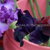 Omaha Farmer's Market - Purple Iris
