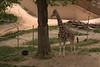 Giraffe seen from the Skyfari.