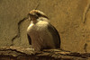 Laughing Kookaburra, (Dacelo novaeguineae), is the largest of the Kingfisher family  It is a carnivorous bird.  Common prey include mice and similar-sized small mammals, large insects, lizards, small birds and nestlings, and most famously, snakes.