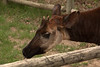 I don't know whether the Okapi's horns are worn or have purposefully been shortened.