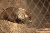 Coati uses his long snout to hunt for beetles, grubs ants etc.