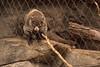 Coati found in Southern Arizona, Mexico and South America.