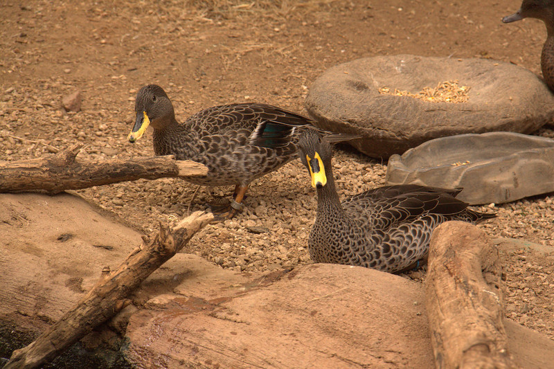 The yellow-billed duck (Anas undulata) is a 51–58 cm long dabbling duck.  It is found in southern and eastern Africa.