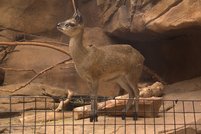 I checked back later and the Klipspringer had moved ever so slightly.