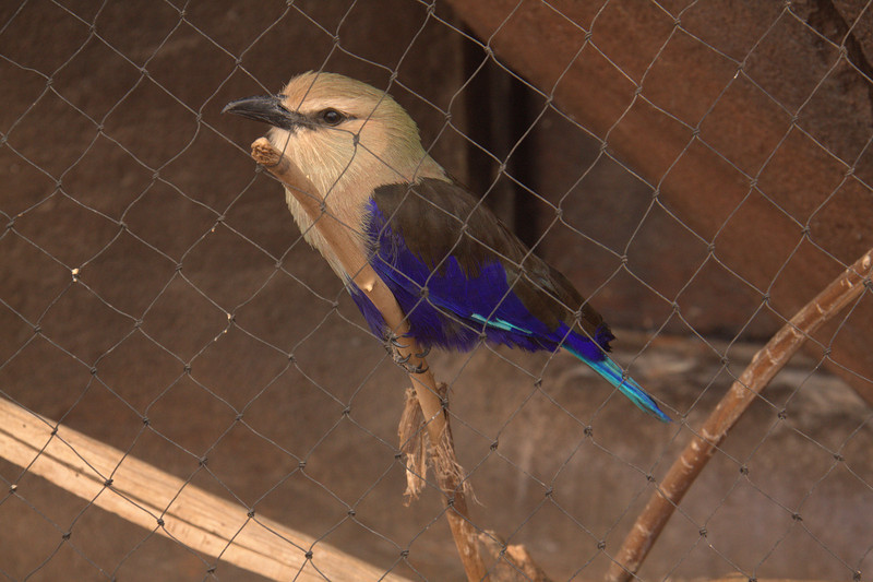 A Blue-Bellied Roller in the Desert Dome.  The group gets its name from the aerial acrobatics some of these birds perform during courtship or territorial flights. Rollers resemble crows in size and build, and share the colourful appearance of kingfishers and bee-eaters, blues and pinkish or cinnamon browns predominating. The two inner front toes are connected, but not the outer one. (see it better in a larger view)