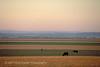 Cattle grazing in wide open plains in South Dakota, USA