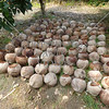 Matured coconuts harvested for seedlings in Omiles, Cauayan, Negros Occidental, Philippines.