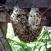 Honey bees in Negros Occidental, Philippines.