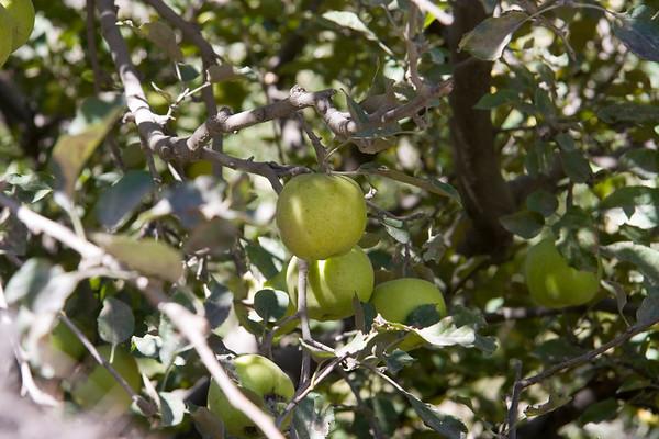 Green Marpha Apples
