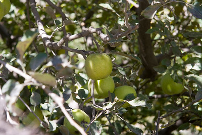 Green Marpha Apples