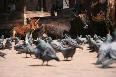pigeons and cows at Durbar Square, Kathmandu