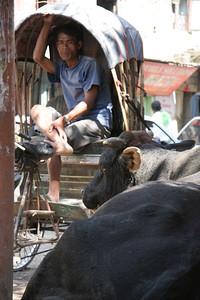 Riksha and cow in Kathmandu