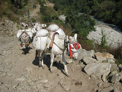 One of many large mule caravans seen every day.