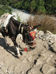Mule with fancy halter