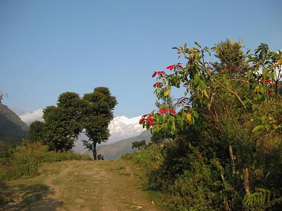 Poinsetta bush