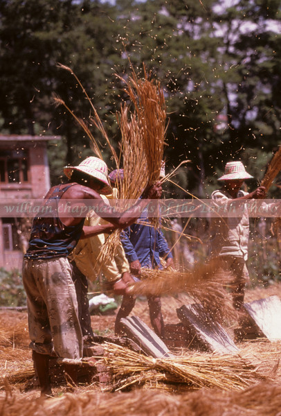 Threshing wheat by hand in the Kathmandu Valley asia