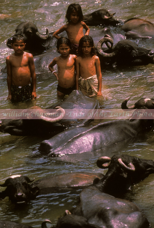 Summertime in western Nepal.  Children enjoying the afternoon with a herd of water buffalo in remote section of Nepal.   asia