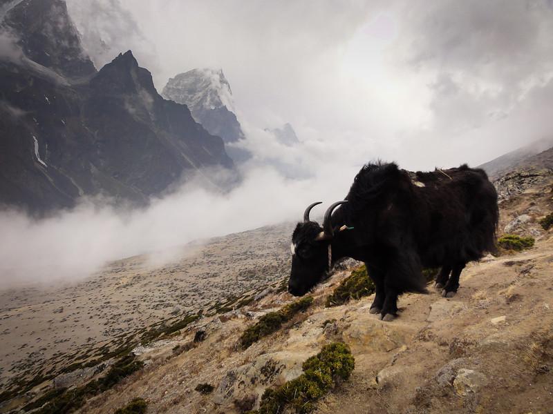 Yak above Dingboche, Nepal