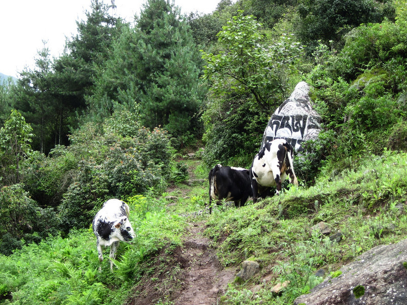 Now I know why Friesian cows have that black-and-white colour scheme... it's camouflage for when they want to hide among the buddhist chortens in Nepal.