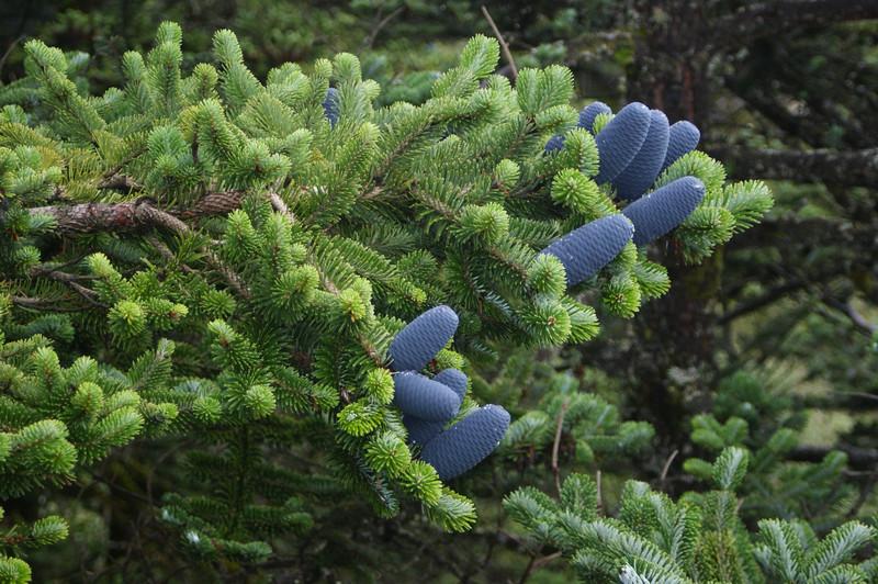 Blue pine cones
