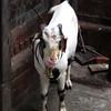 Goat at Kathmandhu Durbar Square