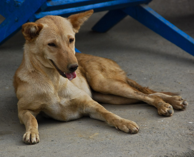 Every dog in India and Nepal looks like this one.