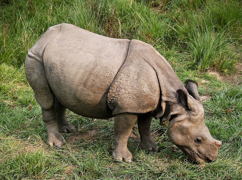 Very close to one-horned rhino from top of elephant.