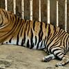 Man-eating tiger serving a life sentence