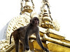 In Swayambhunath better known as the Monkey Temple, Why?...