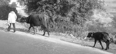 buffalo-sh