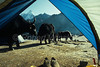 Yaks Graze Outside a Tent, Thyangboche Gompa, Buddhist Monestary, Nepal, Asia